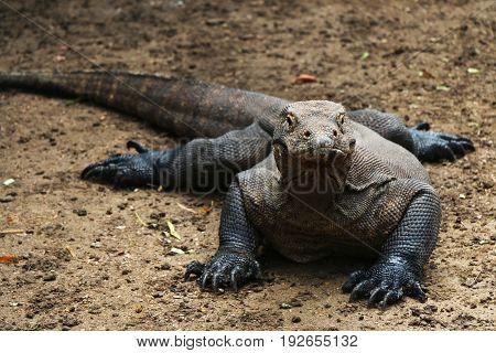 Komodo dragon front view on brown soil in Komodo island Indonesia.