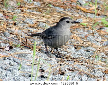 Gray Catbird in South Bethany Usa May 8 2016