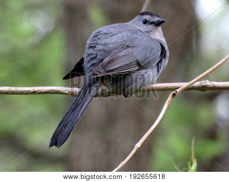 Gray Catbird on a branch in South Bethany Usa May 8 2016