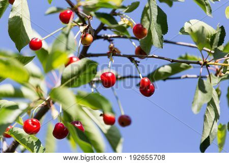 red cherries on the tree in nature