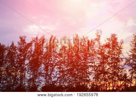 silhouette of pine tree and branch at sunset light yellow - orange in sky beautiful landscape on nature