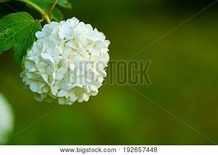 Decorative Kalina Bush Viburnum Or Buldonezh. Viburnum With White Flowers
