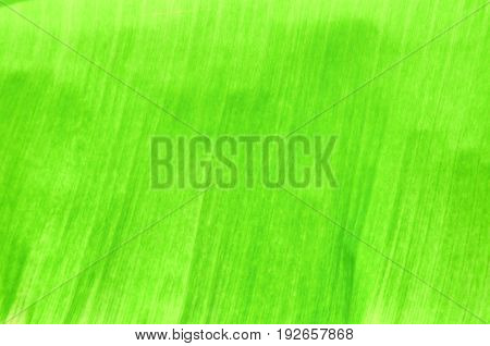 banana leaf texture for background in nature select focus with shallow depth of field