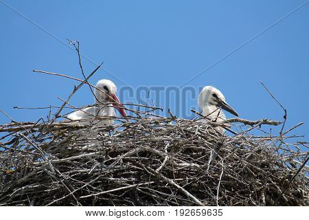 White stork with nestling in the nest