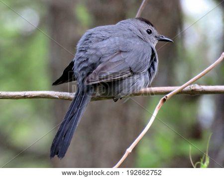 The Gray Catbird in South Bethany Usa May 8 2016