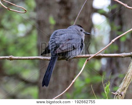 The Gray Catbird on a branch in South Bethany Usa May 8 2016