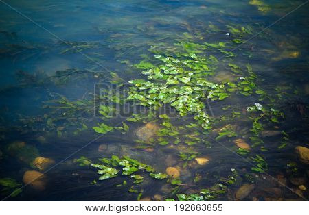 Algae and water plants at stream It is a complete Ecology system.