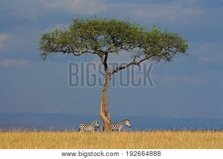 Plains zebras (Equus burchelli) and tree in grassland, Masai Mara National Reserve, Kenya