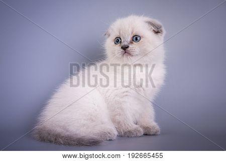 Scottish Fold Small Cute Kitten Blue Colorpoint White