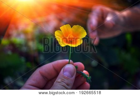 Hand gives a wild yellow flower with love at sunset. Sympathy friendly gesture.