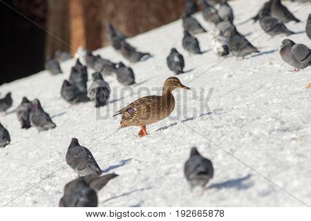Duck and a flock of pigeons on the snow