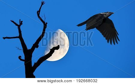 Raven on blue sky background with tree silhouette over the moon