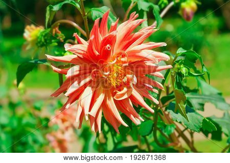 Dahlias against the background of green leaves. Focus on the flower. Shallow depth of field.