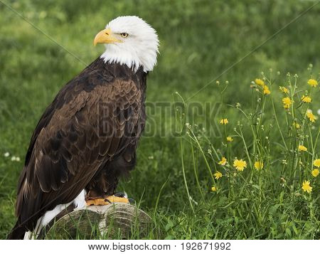 Bald Eagle famous for being the national symbol of the United States