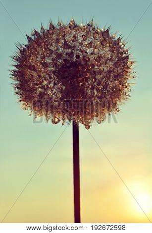 Dew drops on a dandelion seeds at sunset.