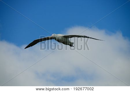 A Wandering Albatross Flying on Prion Island, South Georgia.
