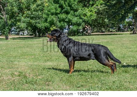 Rottweiler dog lon the green grass outdoor.Selective focus on the dog