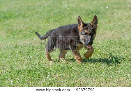 German shepherd puppy running through the grass. Selective focus on the dog