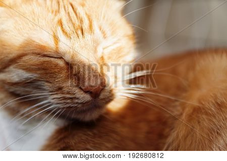 Red Cat, Close-up Portrait Of The Head, Squinted In The Sun And