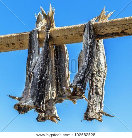 Dried Codfish Svolvaer Lofoten Norway.