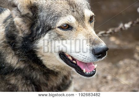 Portrait of a dog mongrel. A dog with an open mouth