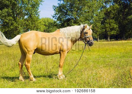 Horse in field. Light brown horse Palomino with white mane stands on meadow against forest, side view