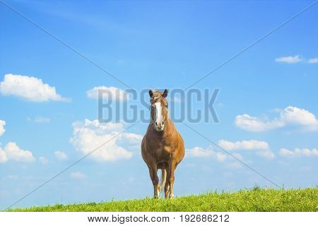 Wild horse brown color on grass. Domestic animal horse on pasture. Summer rural landscape with grazing horse in meadow against cloudy blue sky