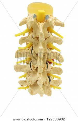Back view of plastic study model backbone spinal nerve (spinal vertebrae orthopedic) isolated on white background clipping path.