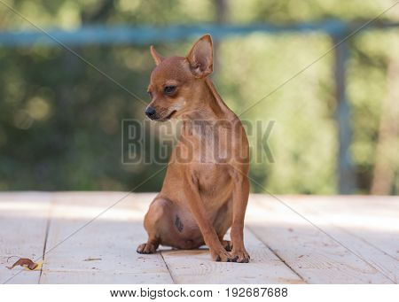 Little dog on the table, Russian Toy Terrier,