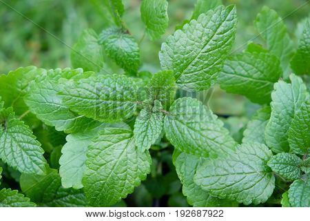 Green garden herb lemon balm - Melissa officinalis - shallow depth of field