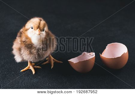 The Hatched Chicken And Egg Shell On A Black Background