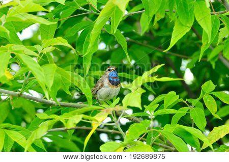 Bluethroat, bird, male. The Bluethroat is a bird of the family of thrush detachment  of passerine.