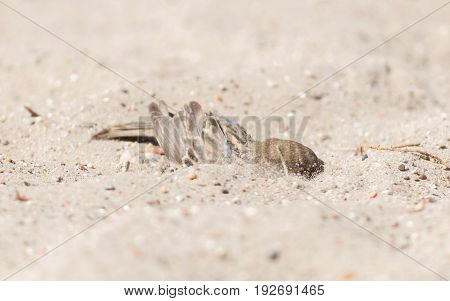 Sparrow Washing In Sand
