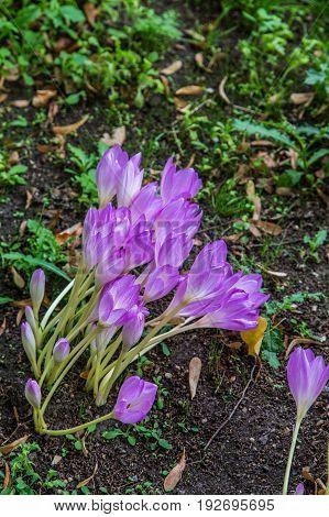 Seedling Purple Lilies Budding in new Soil