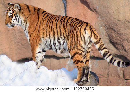 Wild siberian tiger watching its prey. Animals in wildlife.