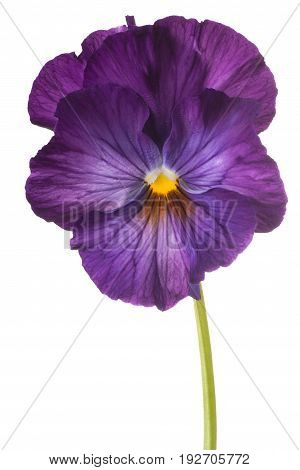 Pansy Flower Isolated