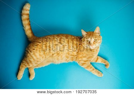 Careless red-headed pussy cat isolated on blue background. Fat red feline with long ears and luxurious whiskers. Domestic animal with straight tail