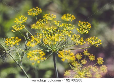 Anethum graveolens Linn., Blooming dill garden or smelly Lat. Anethum graveolens
