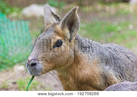 Patagonian mara - Dolichotis patagonum, big rodent, relative of guinea pig, common in Patagonian steppes of Argentina, South America