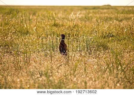 Pheasant in the steppe nature reserve wildlife Biruchiy Island Ukraine