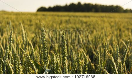 The grain field during sunny day. The view is aimed in detail of grain.