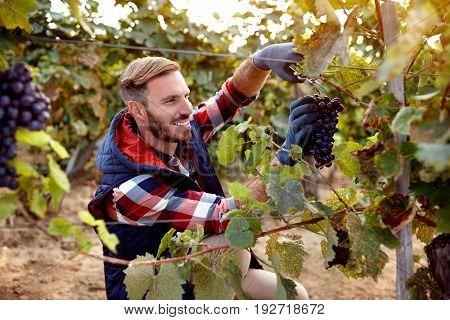 smiling wine maker picking black grapes on family vineyard