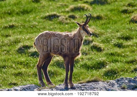 Chamois Goat In The Mountains
