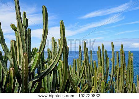 Canary Island Spurge by the Sea. Canary Island.