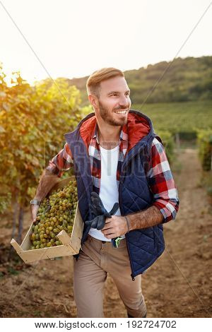 young smiling man harvesting grapes from vines in vineyard