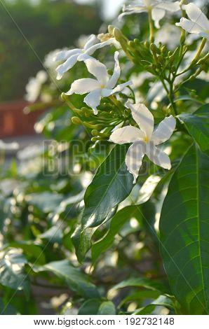 White orange jessamine flowers in Lumbini, Nepal