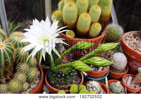 Collection of cacti including a white flowering echinopsis