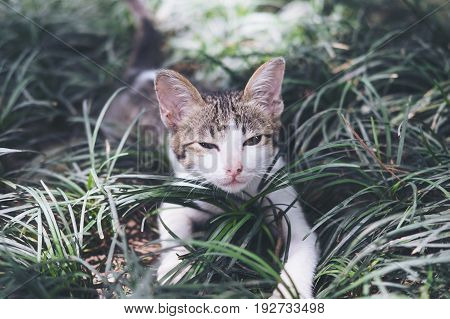 A white and gray hair kitten playing around in a field