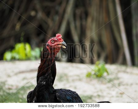 Black hen domestic fowl close up micro