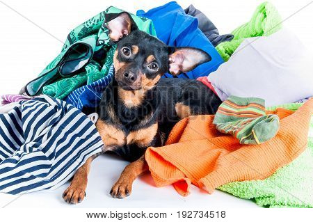Dog, Puppy, Toy Terrier Made A Mess Of The Clothes. On A White Background